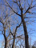 Trees in Chaoyang Parkp. Quiet Beijing during the Chinese New Year holidays Royalty Free Stock Photo
