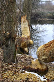 Trees chewed by beavers Royalty Free Stock Photos