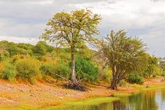 Trees at Chobe river. Trees at the riverbank of Chobe river in Botswana royalty free stock images