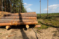 Trees chopped and stacked in forest Royalty Free Stock Image