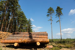 Trees chopped and stacked in forest Stock Photography