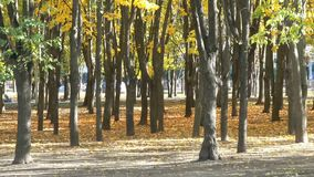 Trees in the city autumn park. With yellowing and falling leaves natural sketch with seasonal features stock video footage