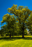 Trees and a clear blue sky in Druid Hill Park, Baltimore Royalty Free Stock Images