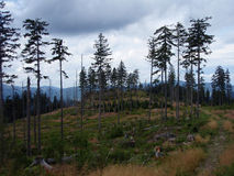 Trees in the clearing. Healthy or broken trees in the clearing Royalty Free Stock Photo