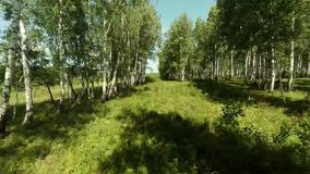 Trees close. Aerial shot. The camera moves through the trees. Birch forest stock video footage