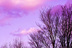 Trees and pink clouds. The tops of trees and fluffy pink sunset clouds Royalty Free Stock Photo