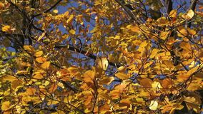 Trees with color leaves in autumn stock footage