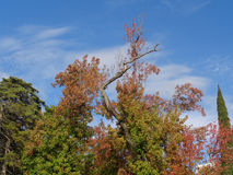 Trees with colorful autumn leaves. Liquidambar tree with colorful autumn foliage against blue sky Stock Image