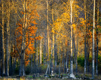 Trees  with colorful leaves in autumn Royalty Free Stock Images