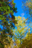 Trees with colorful leaves under blue sky in russian reserve forest in autumn. Stock Photography