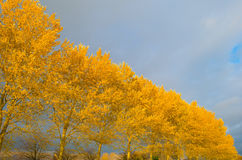 Trees with colorful  yellow autumn leaves Royalty Free Stock Photo