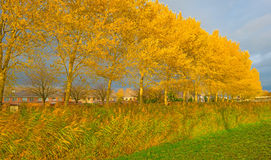 Trees with colorful  yellow autumn leaves Stock Image