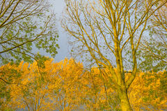 Trees with colorful  yellow autumn leaves Stock Photography