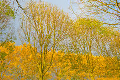 Trees with colorful  yellow autumn leaves Stock Images