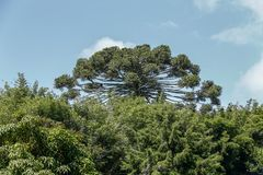 Trees in contrast with the sky. Closeup of trees in contrast with the blue sky, highlighted by a araucaria. Brazil Royalty Free Stock Photography