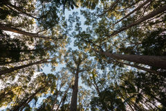 Trees converging above. Royalty Free Stock Photography