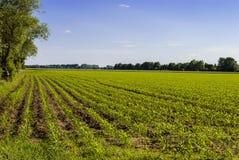 Trees, Corn and Sky. Bright sunny day Royalty Free Stock Image