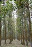 Trees corridors Stock Photography