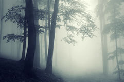 Trees in counter light in a forest. Trees in a foggy forest in counter light Royalty Free Stock Image