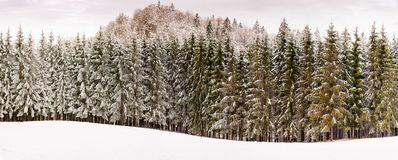 Trees coverd in snow royalty free stock image