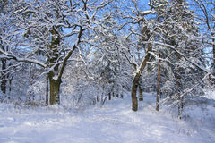 Trees covered with fresh snow in winter forest Royalty Free Stock Photo