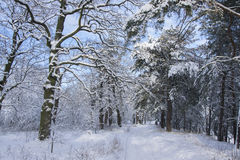 Trees covered with fresh snow in winter forest Royalty Free Stock Photos
