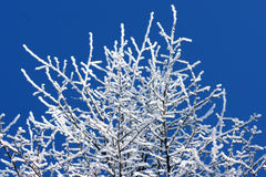Trees covered in frost over bright blue sky Royalty Free Stock Photo