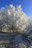 Trees covered with frost Royalty Free Stock Image