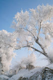 Trees covered with glaze. A tree covered with ice feathers,Wusong Island,Jilin China Royalty Free Stock Images