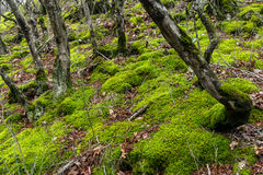 Trees covered with green moss. In the forest Stock Image