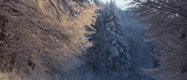 Trees covered with heavy snow, severe winter Stock Image