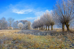 Trees covered by hoarfrost Stock Image