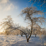 Trees covered with hoarfrost against the blue sky Stock Photos