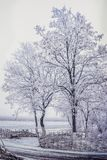 The trees are covered with hoarfrost in the field. The trees are covered with hoarfrost in a foggy field Royalty Free Stock Photo