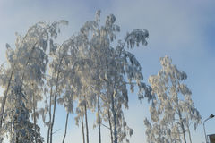 Trees covered with hoarfrost Stock Images