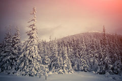 Trees covered with hoarfrost and snow in mountains. Royalty Free Stock Images