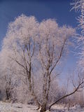 Trees are covered hoarfrost Royalty Free Stock Images