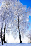 Trees covered with hoarfrost in winter. Stock Images