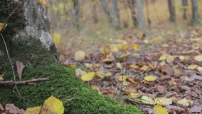 Trees covered with moss. Autumn forest landscape, images taken using the slider stock footage