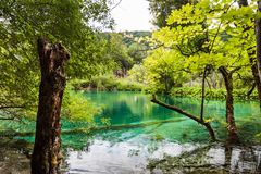 The trees covered with moss are in the clear water of the lake. Plitvice, National Park, Croatia stock photography