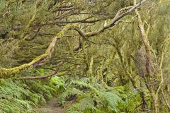 Temperate laurel forest Tenerife Canary Islands. Trees covered with moss and lichen, hiking trail through dense laurel forest, Anaga Rural Park in the northeast stock photos
