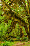 Trees covered with moss in the rain forest Royalty Free Stock Photo