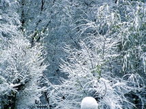 Trees covered by snow. Green trees covered by fresh snow Royalty Free Stock Photo