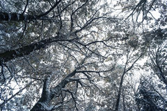 Trees covered with snow Royalty Free Stock Photo