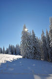 Trees covered with snow. Snow covered forests of fir trees in mid winter. Behind them there is a mountain ridge. Above it there's a clear blue sky Royalty Free Stock Photography