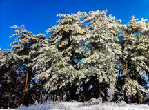 Trees covered with snow against  blue sky Royalty Free Stock Images