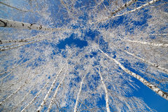 Trees covered with snow Royalty Free Stock Image