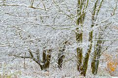 Trees Covered in Snow. Beautiful winter scene, a thick stand of trees covered in snow royalty free stock image