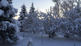 Trees covered with snow on the branches. Camera moves left to right taking a winter landscape. Trees covered with snow on the branches stock video