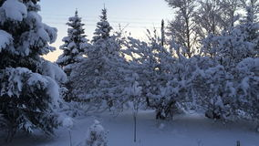 Trees covered with snow on the branches. Camera moves left to right taking a winter landscape. Trees covered with snow on the branches stock footage